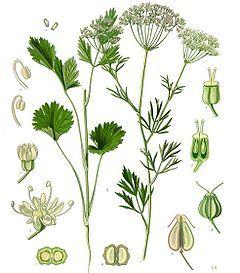 240px-Koehler1887-PimpinellaAnisum.jpg